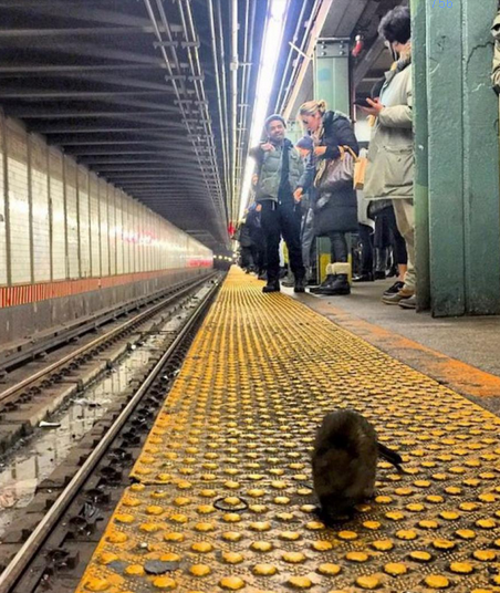rat-new-york-1