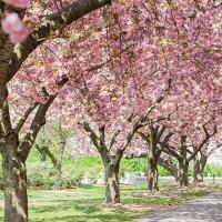 8 spots parfaits pour profiter du Cherry Blossom à New York