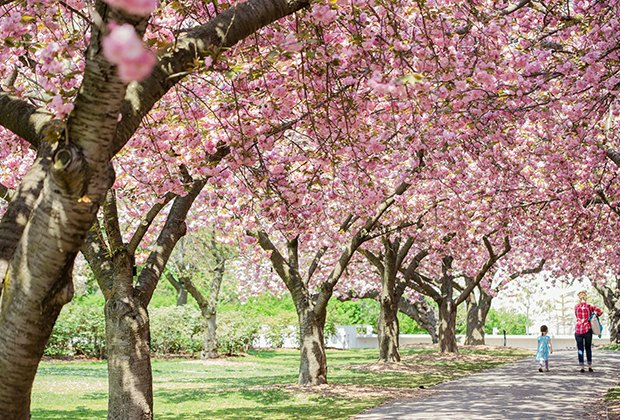 cherry-blossom-new-york-parc-central-park-jardin
